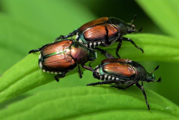 insectes et maladies du rosier espace pour la vie. Black Bedroom Furniture Sets. Home Design Ideas