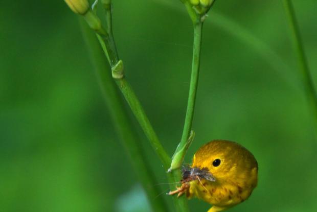 Yellow warbler, Québec, Canada.