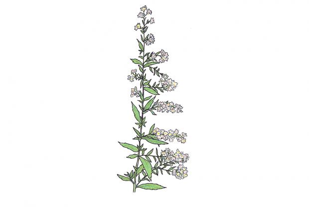 Symphyotrichum lateriflorum (anc.Aster lateriflorus)