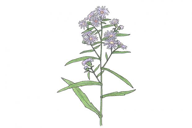 Symphyotrichum novi-belgii  (syn. Aster novi-belgii.)
