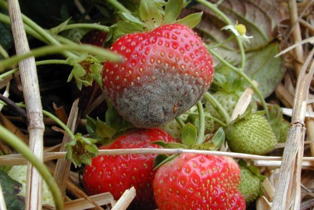 Moisissure grise sur fraises