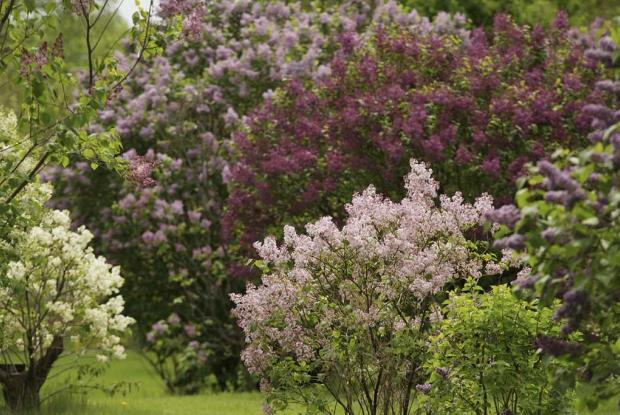 Collection of lilacs