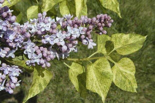 Syringa vulgaris 'Dappled Dawn'