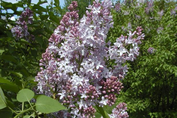 Choosing a lilac & Growing lilacs | Space for life