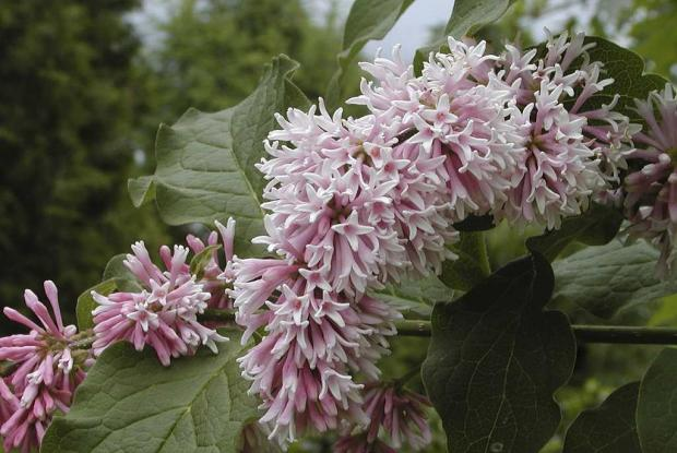 Syringa yunnanensis