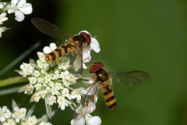Syrphidae