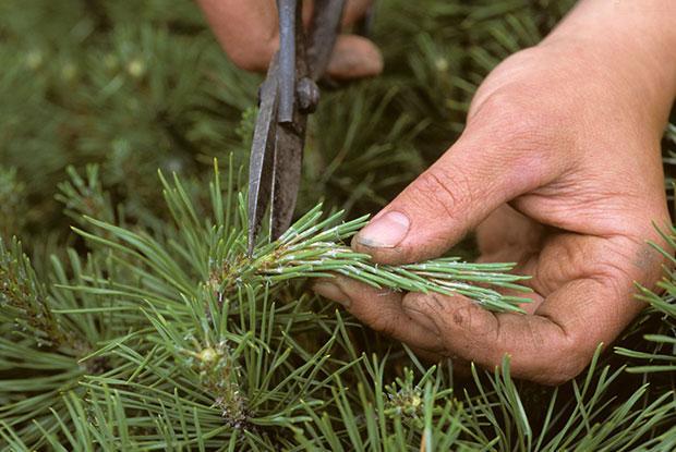Un homme taille une branche de conifère.