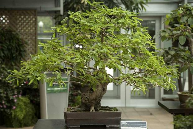 indoor bonsai space for life. Black Bedroom Furniture Sets. Home Design Ideas