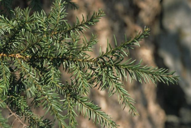 If du Canada (Taxus canadensis)
