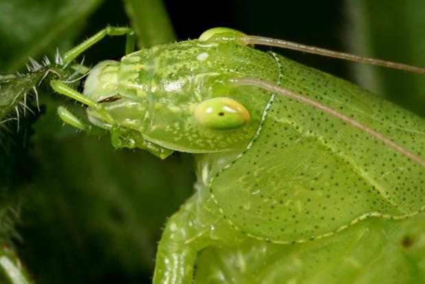 Tettigoniidae, Québec, Canada.