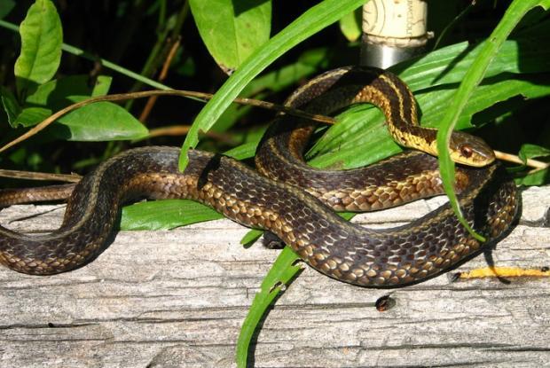 Thamnophis sirtalis
