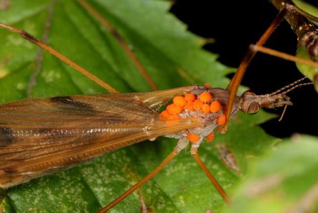 Mites on Tipulidae, Québec, Canada.