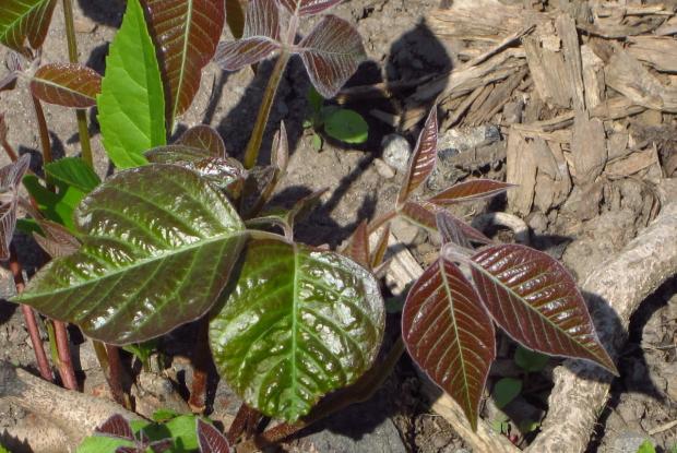 Toxicodendron radicans