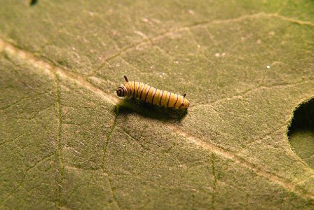 2nd instar caterpillar