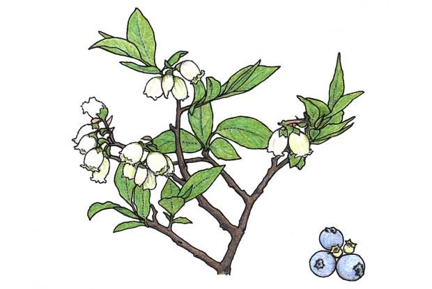 Vaccinium myrtilloides (syn. V. angustifolium)