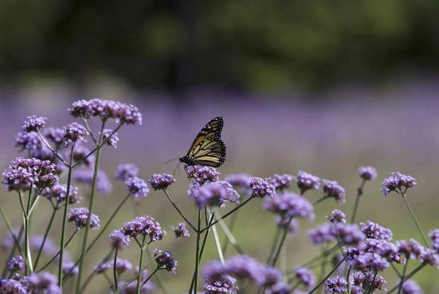 S lection des plantes espace pour la vie - Plantes pour papillons ...