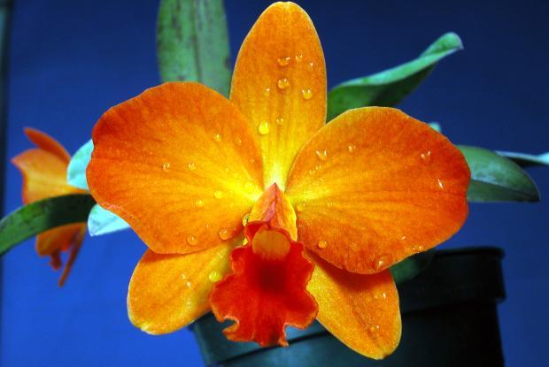X Sophrolaeliocattleya 'Mango Spice'