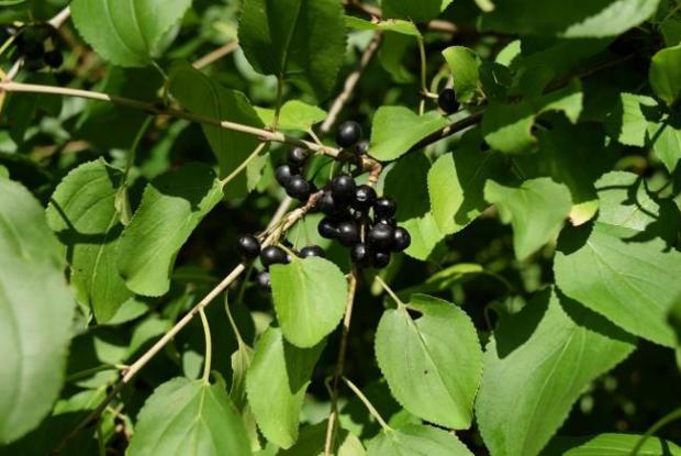 Fruiting buckthorn