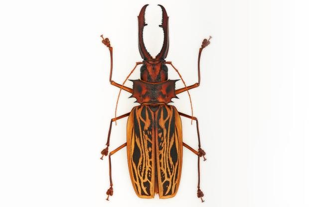 Macrodontia cervicornis.