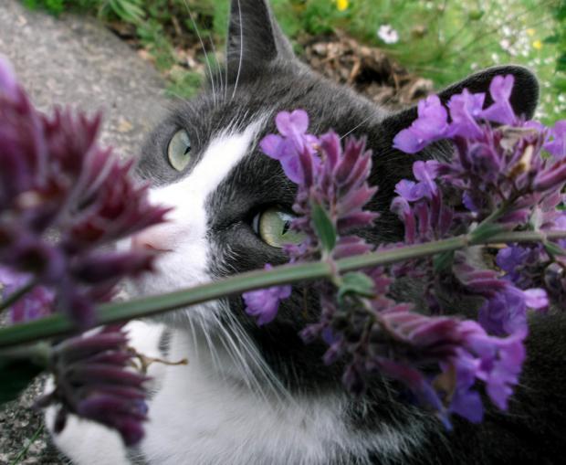 Cat with catnip (Nepeta cataria)