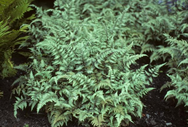 Athyrium niponicum 'Pictum'