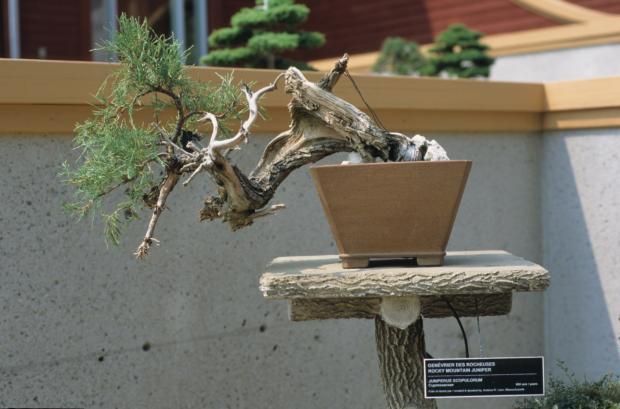 Juniperus scopulorum, Bonsai