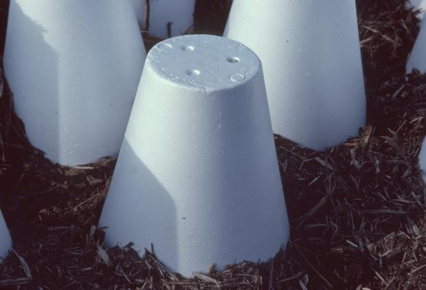 Protective cones for roses.
