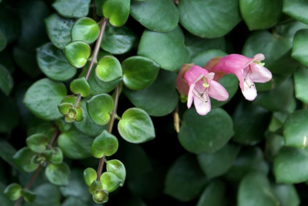 Aeschynanthus 'Thai pink'