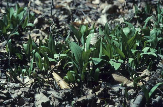Wild leek (Allium tricoccum).