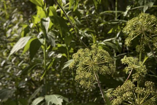 Anethum graveolens 'Super Dukat'