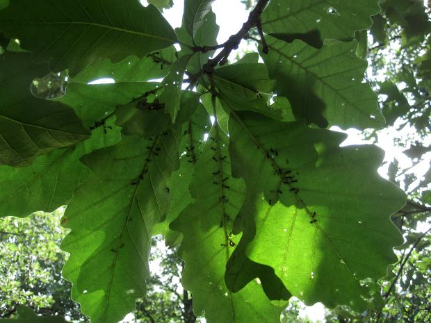 Aphids and ants on the underside of oak leaves.