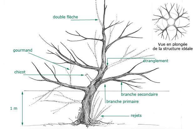 Taille des jeunes arbres fruitiers