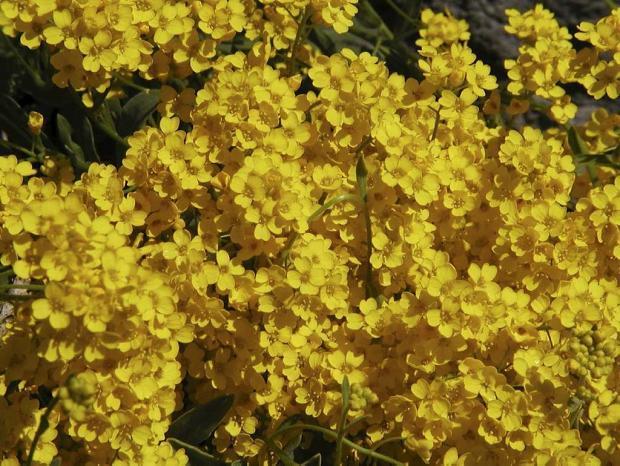 Alyssum saxatile 'Compactum'