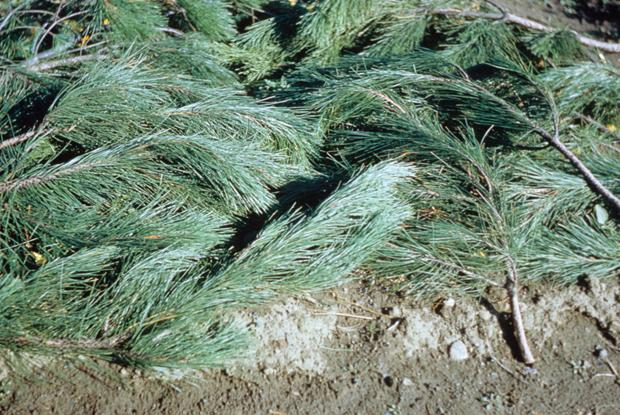 Evergreen boughs (0203-00017)