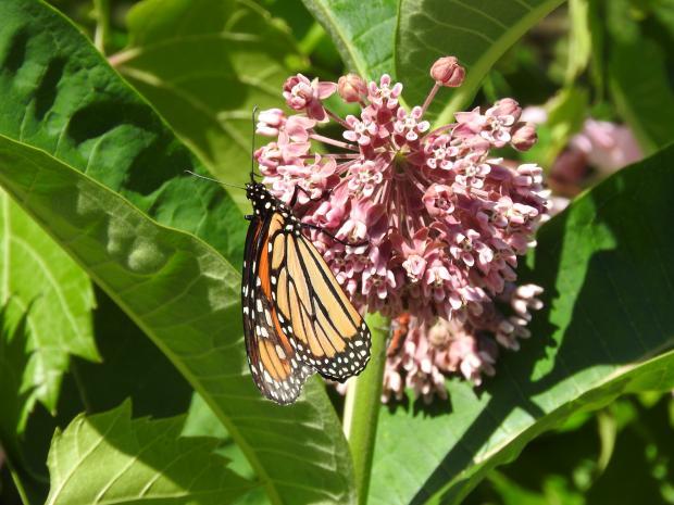 1 - Common milkweed