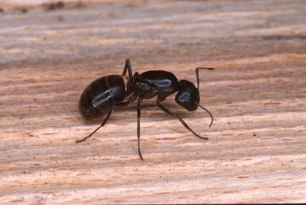 Camponotus sp, Québec, Canada.