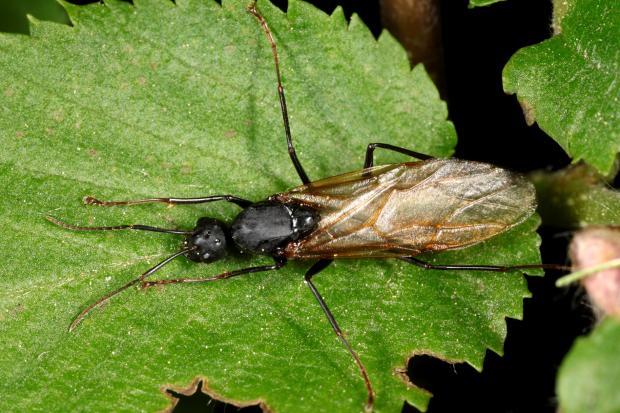 Camponotus, sp. Québec, Canada.