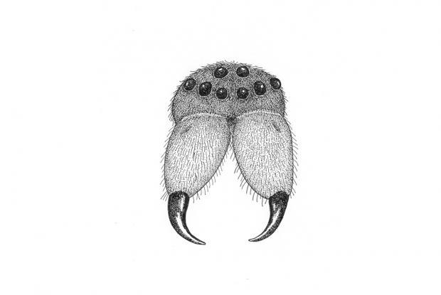 Open spider chelicerae.