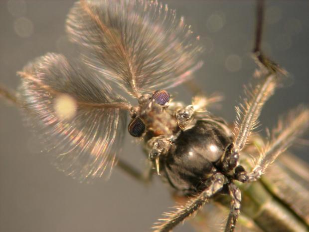Chironomus anthracinus, Denmark.