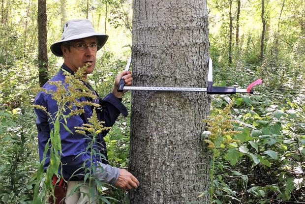 Measuring a poplar planted 17 years ago to initiate forest restoration.