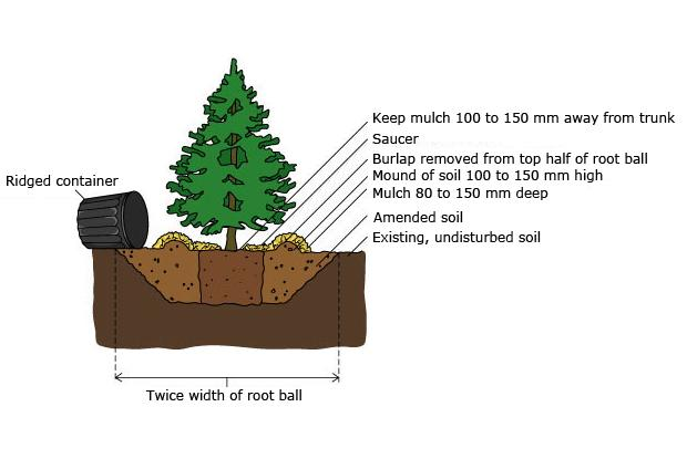 Container grown trees and shrubs
