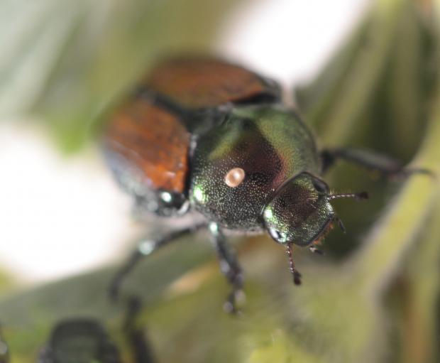 Scarabée japonais parasité par la mouche tachinide Istocheta aldrichi