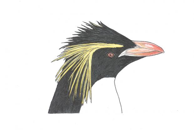 Eudyptes moseleyi