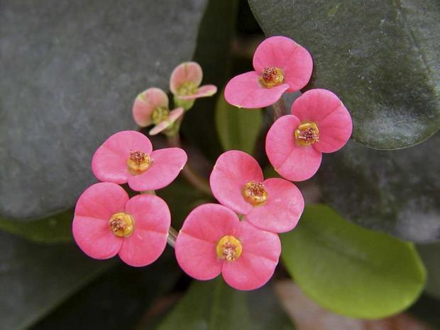 Euphorbia x lomii 'Gaby'