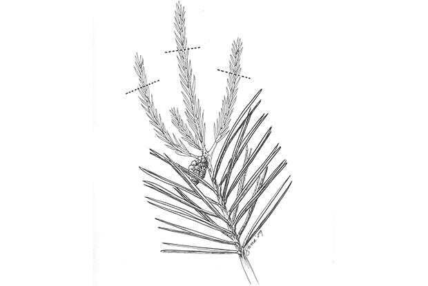 Pruning whorl-branched conifers
