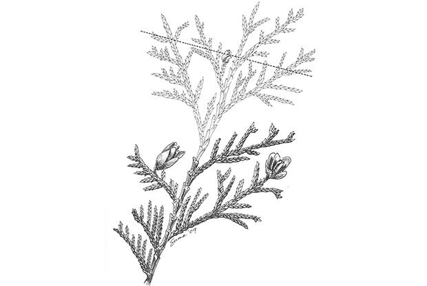 Pruning random-branched conifers