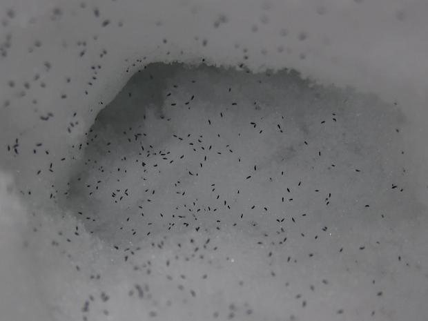 Collembole des neiges