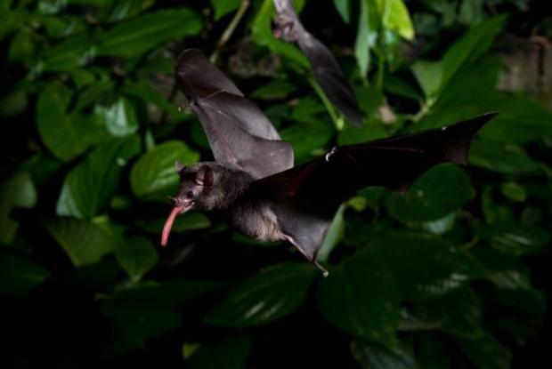 Bats, a triumph of evolution