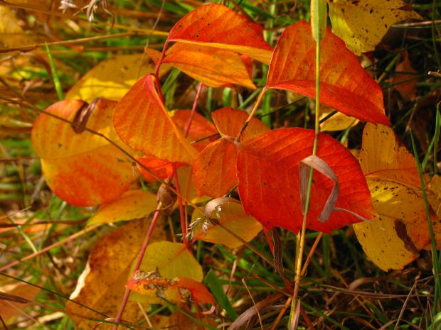 Poison ivy (Toxicodendron radicans) - Autumn colouring