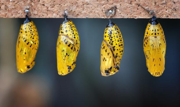 Idea leuconoe (chrysalis)